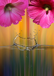 Raindrops fall from the flowers causing a slash of vibrancy in delicate fine details