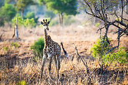Young Giraffe making his way through the bushveld of Kruger National Park in South Africa