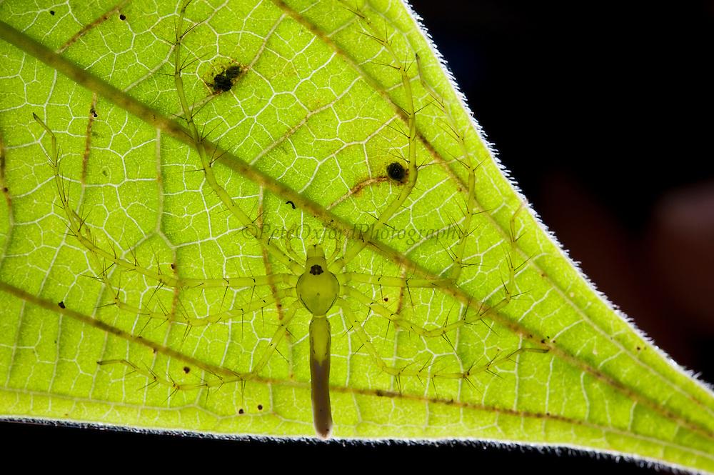 Nursery Spider (family Pisauridae)<br /> Yasuni National Park, Amazon Rainforest<br /> ECUADOR. South America