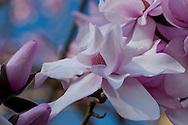Magnolia sargentiana 'Robusta' in the Savill Garden, Windsor Great Park, Windsor, West Berkshire, UK