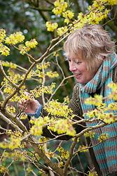 Carol Klein smelling Hamamelis x intermedia 'Pallida' syn. H.mollis 'Pallida' - Witch hazel
