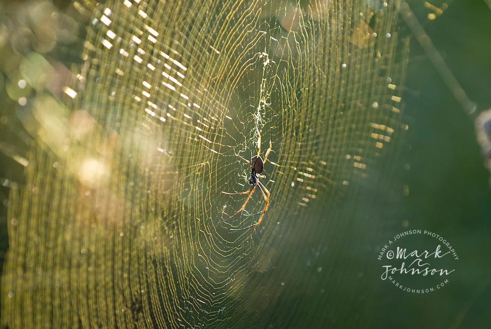 Golden Orbweaver spider in its web