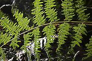 Bracken fronds, Pteridium plant, growing in woodland, Suffolk, England