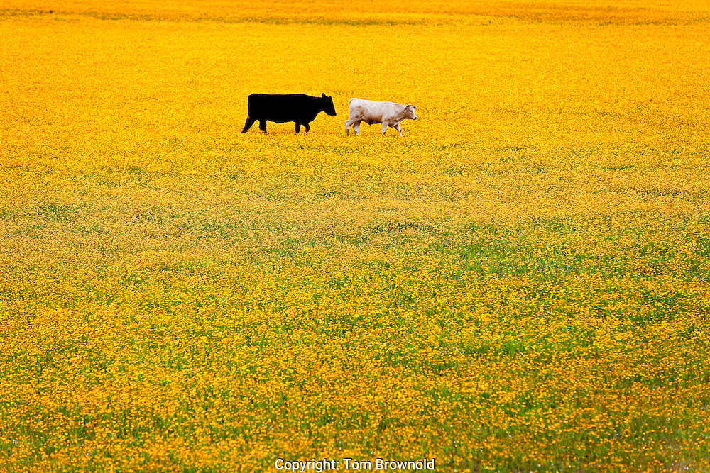 Cattle grazing in a field of coreopsis (common name; tic seed).