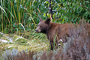 Cinnamon Phase Black Bear in Habitat Cinnamon phase black bear in habitat