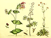 Lonicera preiclymenum [Late Red Honeysuckle], Lupinus perennis [Perennial Lupine] and Lychnis [Double Portuguese Perennial Lychnis] from Vol II of the book The universal herbal : or botanical, medical and agricultural dictionary : containing an account of all known plants in the world, arranged according to the Linnean system. Specifying the uses to which they are or may be applied By Thomas Green,  Published in 1816 by Nuttall, Fisher & Co. in Liverpool and Printed at the Caxton Press by H. Fisher