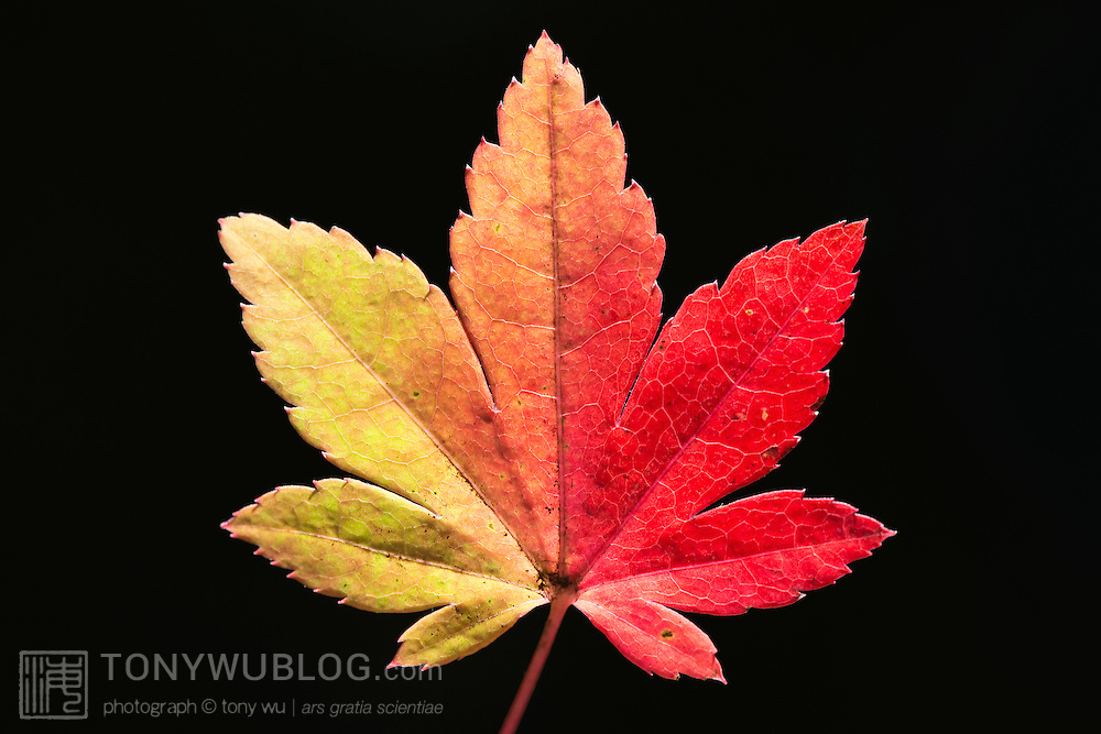 Japanese maple leaf changing colors in autumn. Photographed in Koyakeikoku (古谷渓谷) in Nagano Prefecture (長野県) in Japan.