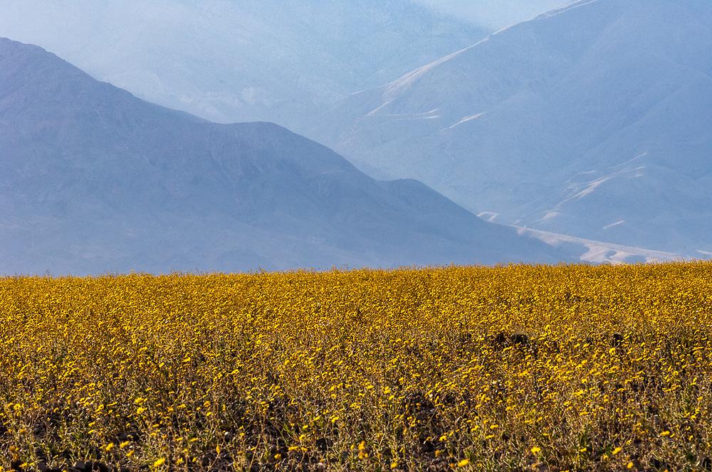 Desert gold (Gerea canescens), dust storm, afternoon light, April, Death Valley National Park, Mojave Desert, San Barnardino County, California, USA