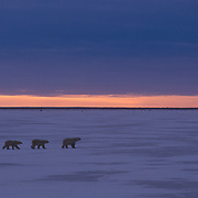 Mother polar bear and cubs during the evening at Hudson Bay, Canada.