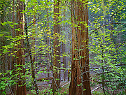 Dogwood and Cedar,Yolla Bolly–Middle Eel Wilderness,Mendocino National Forest, California