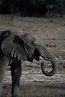 One Kalahari Elephant drinking on a riverbank in Chobe National Park Botswana