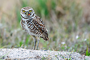 A Burrowing Owl, Athene cunicularia, feeds on a butterfly near its burrow during a rainstorm in the city of Boca Raton, Florida, United States.