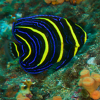 """Cortez Angelfish (Pomacanthus zonipectus) juvenile color form.<br /> Example of regional endemic, special to Eastern Tropical Pacific.<br /><br />Contreras Islands<br />Coiba National Park, Panama<br />Tropical Eastern Pacific Ocean<br /><br />""""The Fridge"""" dive site"""