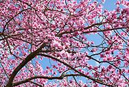 Magnolia campbellii x campbellii ssp mollicomata in The Valley Gardens, Windsor Great Park, Egham Surrey, UK