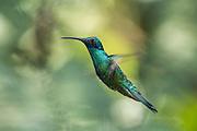 Sparkling Violetear  (Colibri coruscans)<br /> Mindo<br /> Cloud Forest<br /> West slope of Andes<br /> ECUADOR.  South America<br /> HABITAT & RANGE: