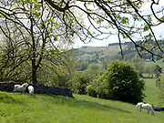 White horses grazing in a field in the village of Conistone in Wharfedale, United Kingdom on 23rd May 2018. Wharfedale is the valley of the river Wharfe and is the longest valley dales valleys in the Yorkshire Dales National Park