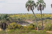 ARROYO EL PALMAR, PARQUE NACIONAL EL PALMAR, PALMERAS YATAY (Syagrus yatay) ENTRE ESPECIES NO AUTOCTONAS (ARBOLES PARAISO, Melia azedarach), PROV. DE ENTRE RIOS, ARGENTINA