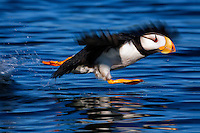 Horned puffin takes off Fred Flintstone style