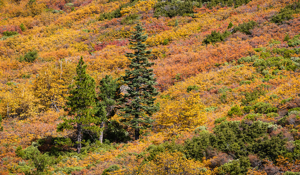 Dwarf oaks (Oregon Oak?), a variety of different manzanita bushes and other low shrubs create a colorful display on the hike to the top of Snow Mountain.