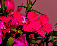 AeroGarden Farm 02-Left. Dianthus Bloom. Image taken with a Fuji X-T3 camera and 80 mm f/2.8 macro lens (ISO 200, 80 mm, f/8, 1/60 sec).