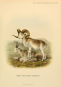 The Marco Polo sheep (Ovis ammon polii) [Here as  Ovis poli] is a subspecies of argali sheep, named after Marco Polo. Their habitat is the mountainous regions of Central Asia. Marco Polo sheep are distinguishable mostly by their large size and spiraling horns colour illustration From the book ' Wild oxen, sheep & goats of all lands, living and extinct ' by Richard Lydekker (1849-1915) Published in 1898 by Rowland Ward, London