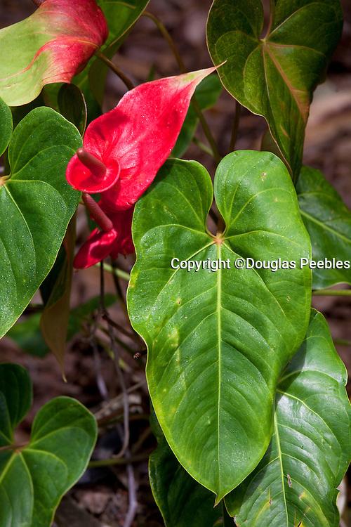 Anthurium, Tropical Gardens of Maui, Iao Valley, Maui, Hawaii