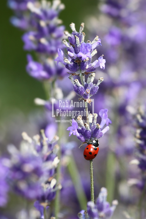 © Rob Arnold.  23/07/2014. Hampshire, UK. A ladybird climbing a Lavender flower on Summerdown farm estate near Malshanger in Hampshire. The lavender will be harvested and distilled into lavender oil that is a popular aromatherapy oil. The oil can be purchased from Summerdown Farms Ltd - www.summerdownmint.com Photo credit : Rob Arnold
