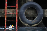 Male King Eider, Somateria spectabilis, in the industrial fishing harbour of Båtsfjord, Varanger, Norway. The scene is surrounded by huge, high sea fishing vessels, fish factories, quays, and heavy machinery.
