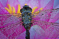 a macro photo of the body of a dragonfly including parts of its wings with dew drops sitting on a water lily