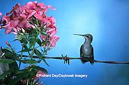 01162-06301 Ruby-throated Hummingbird (Archilochus colubris) female on fence near Garden Phlox (Phlox paniculata) Shelby Co. IL