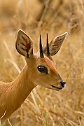 An adult Steenbok (Raphicerus campestris) photographed at the Chipangali Wildlife Orphanage near Bulawayo, Zimababwe. © Michael Durham / www.DurmPhoto.com.