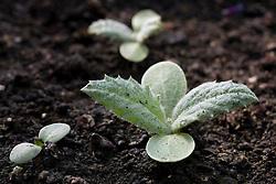 Biennial seedling - Onopordum acanthium