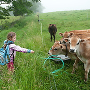 Eight year old girl feeds grass to cows at the Appleton Farms, Ipswich, MA