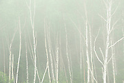White birch trees (Betula papyrifera) in fog<br /> Rossport<br /> Ontario<br /> Canada