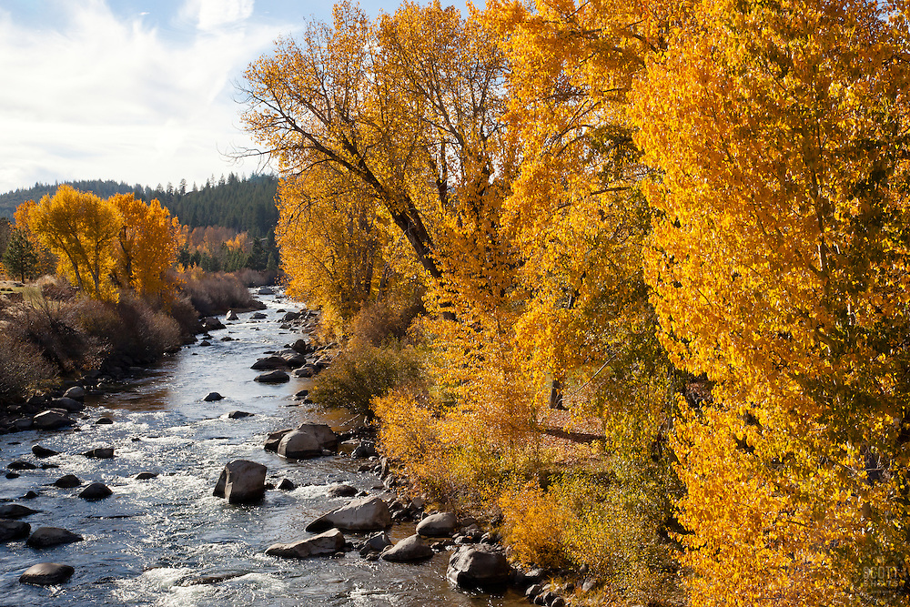 """""""Truckee River in Autumn 3"""" - These cottonwood trees were photographed in autumn at the Truckee River in Downtown Truckee, CA."""