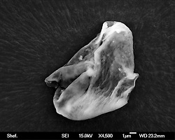 """© Licensed to London News Pictures. 19/09/2013. Sheffield, UK  Scientists from the University of Sheffield believe they have found life arriving to Earth from space after sending a balloon to the stratosphere. The team, led by Professor (Hon. Cardiff and Buckingham Universities) Milton Wainwright, from the University's Department of Molecular Biology and Biotechnology found small organisms that could have come from space after sending a specially designed balloon to 27km into the stratosphere during the recent Perseid meteor shower. Professor Wainwright said: """"Most people will assume that these biological particles must have just drifted up to the stratosphere from Earth, but it is generally accepted that a particle of the size found cannot be lifted from Earth to heights of, for example, 27km. The only known exception is by a violent volcanic eruption, none of which occurred within three years of the sampling trip.. Photo credit : University of Shefflield/LNP"""