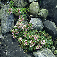 SEA-MILKWORT Glaux maritima (Primulaceae) Height to 10cm. Low-growing and generally creeping, hairless perennial that is found on the upper reaches of saltmarshes and on sea walls. FLOWERS are 5-6mm across and comprise 5 pink, petal-like sepals; borne on upright shoots (May-Sep). FRUITS are dark brown capsules. LEAVES are ovate, succulent and borne in opposite pairs along the trailing stems. STATUS-Widespread and locally common on coasts throughout the region.