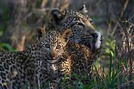 Eine Leopardin (Panthera panthera) mit ihrem rund zwei Monate alten Jungen, Greater Kruger Area, Südafrika<br /> <br /> A leopard (Panthera panthera) with her two-month-old cub, Greater Kruger Area, South Africa