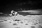 An infrared image of a Joshua Tree near the entrance of Death Valley National Park.