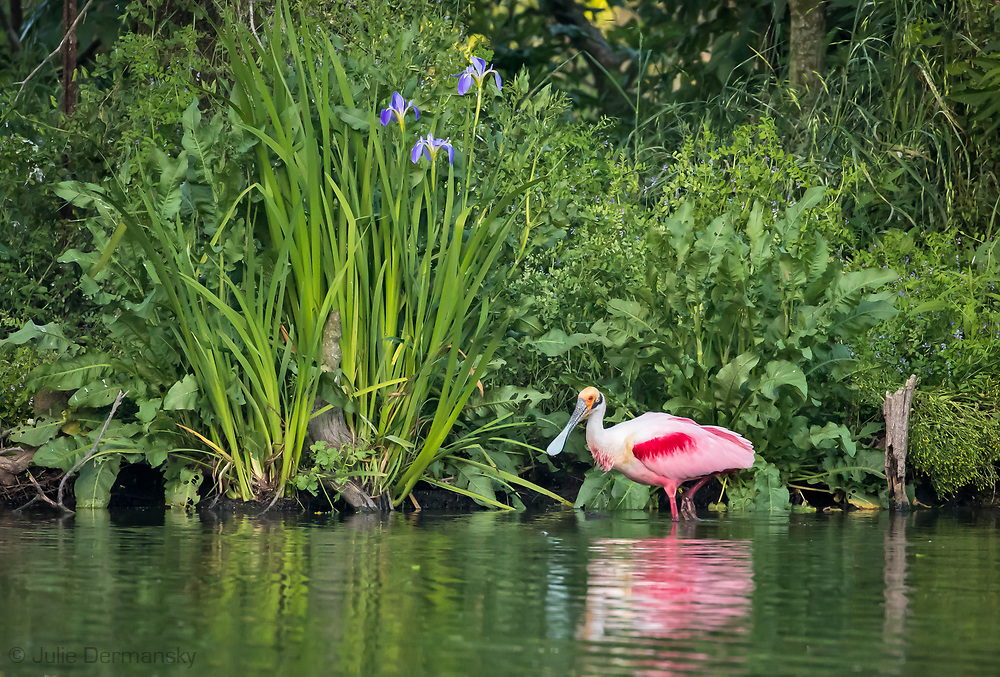 Roseate Spoonbill at Jeffernson Island, Louisiana in front of a wild irsis.
