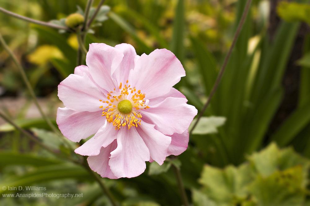 Pink Anemone - Tasmania
