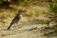 Española (Hood) Mockingbird (Mimus macdonaldi)  holding nesting material