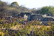 Guaje trees (Leucaena leucocephala) full of red seedpods in front of the ruins of Tomb 7, Monte Alban, Mexico