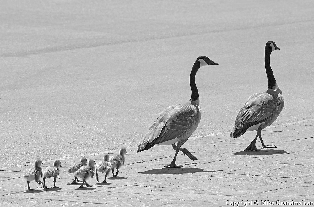 Goose family walking down a paved street<br />