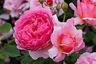 Rosa 'Princess Alexandra of Kent' a large pink rose in the rose garden at Kew Gardens, London, UK