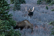 A bull Alaskan moose approaches a female during the autumn rut in Denali National Park, McKinley Park, Alaska.
