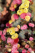 tunicates, ascidians, or sea squirts, Didemnum sp.,<br /> Helen Atoll, Southwest Islands, Palau, Micronesia, ( Western Pacific Ocean )