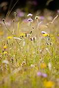 Scabious flowers in the midst of a Dorset wildflower meadow at Durlston Country Park, Dorset, UK