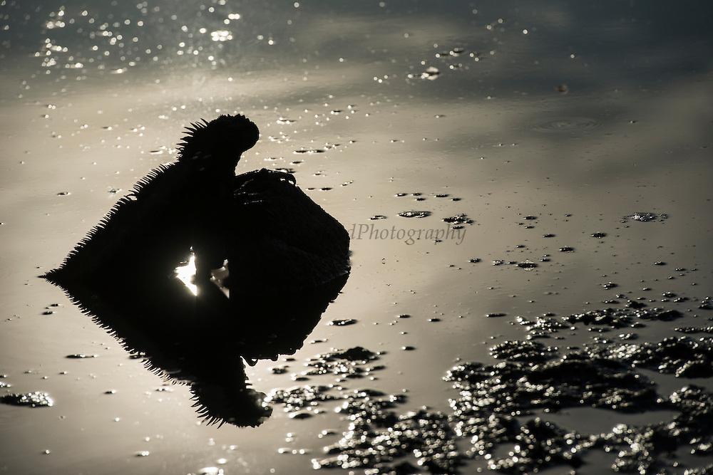 Marine Iguana (Amblyrhynchus criastatus) Silhouette<br /> KT 006 Sonia Kraemer D'Annunzio<br /> Santa Cruz<br /> Galapagos<br /> Ecuador, South America