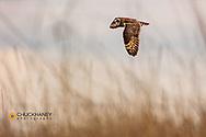 Short eared owl at Ninepipe National Wildlife Refuge, Montana, USA